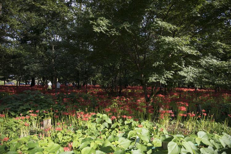 Full frame shot of red flowers in park