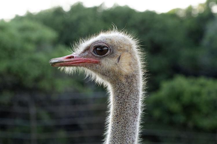 Common ostrich, struthio camelus from brijuni national park