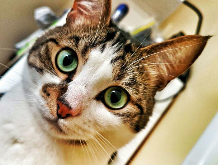 """Breakfast..."" Pets Portrait Feline Domestic Cat Looking At Camera Close-up Cat Animal Eye Animal Face Animal Nose"