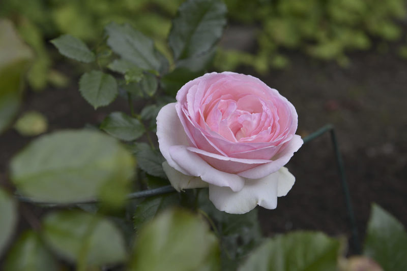 Rose Beauty In Nature Blooming Flower Freshness Pink Color Plant Rose - Flower Rose Plant Rose🌹 Single Flower