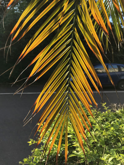 Growth Plant Nature No People Leaf Plant Part Close-up Day Green Color Beauty In Nature Outdoors Focus On Foreground Palm Tree Tree Yellow Tropical Climate Tranquility Palm Leaf Freshness Sunlight