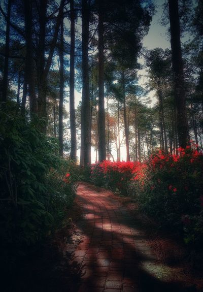 Path Forest Morning Tree Nature Growth Red Tranquility Outdoors Beauty In Nature The Way Forward Day Scenics Sky Brick Azalea Blossoms Relaxing Walking Around Taking Photos Tranquil Scene Blooming