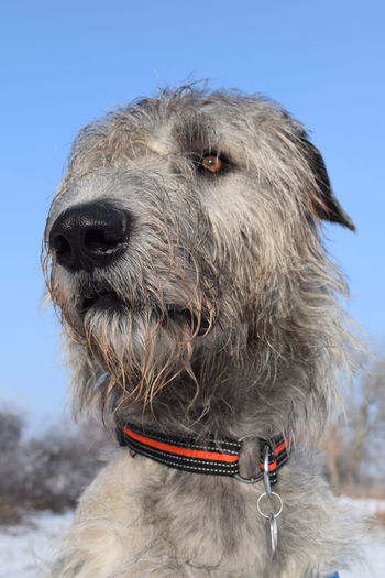 One Animal Close-up Animal Head  Animal Themes Animal Body Part Outdoors Sky Cold Temperature January 2017 Winter 2017 Dogslife Cearnaigh Irish Wolfhound Dogs Of EyeEm Dog Of The Day Dogs Of Winter Looking At Camera Portrait Bokeh Dogwalk Domestic Animals Sunlight