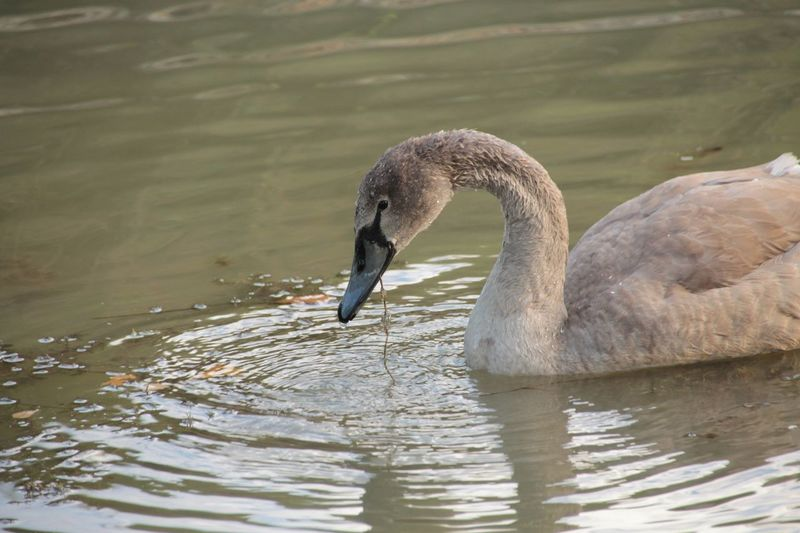 Nature Animals In The Wild Bird Animal Wildlife Water Nature Swimming Swan