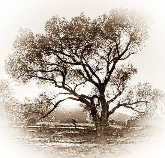 Sepia colored Sepia_collection Sepia Sepia Photography Sepia Tone Loving Lone Tree Lone Trees Tree And Sky Tree Trees Tree_collection