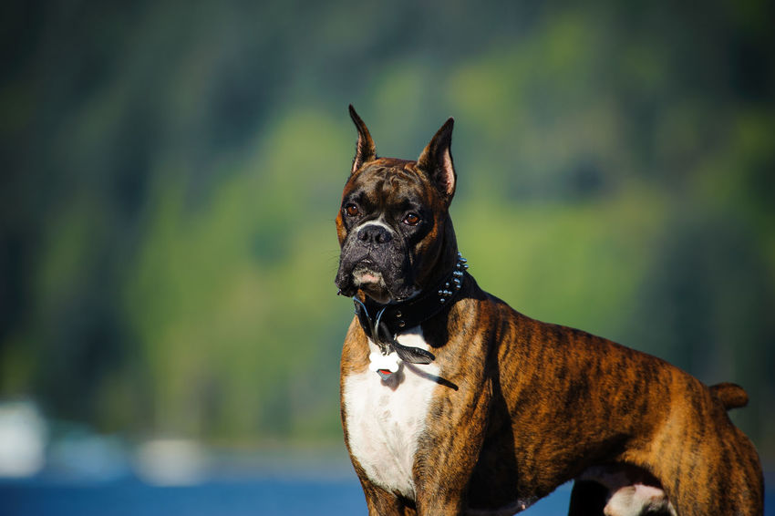 Boxer dog Animal Boxer, Canine Cropped Ears Day Dog Domestic Animals No People Outdoors Portrait Trees