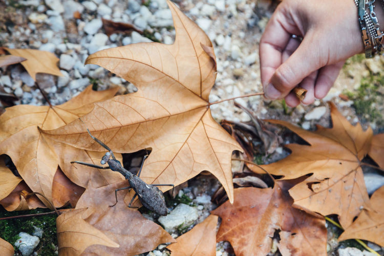 Cropped image of person hand holding dry maple leaves by praying mantis during autumn