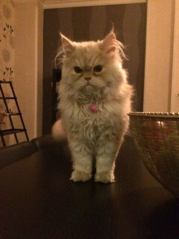 Nonor Persian Cat