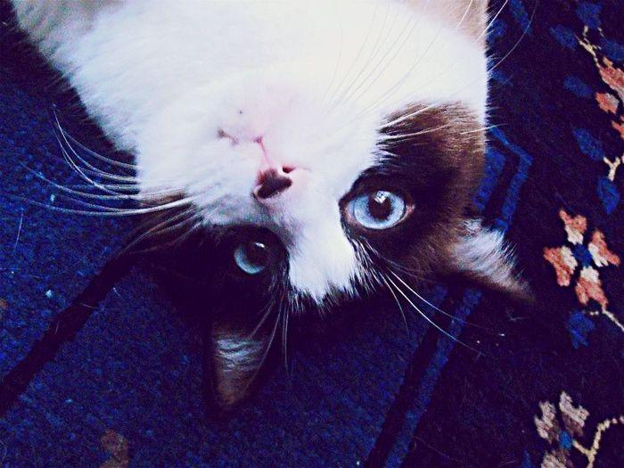Cat Gatto Cute Pets Nice