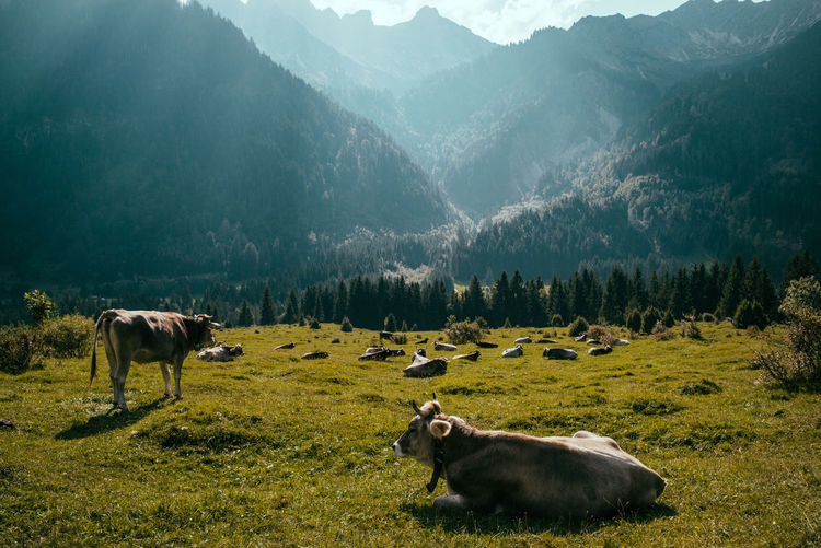 Cow on field against mountains