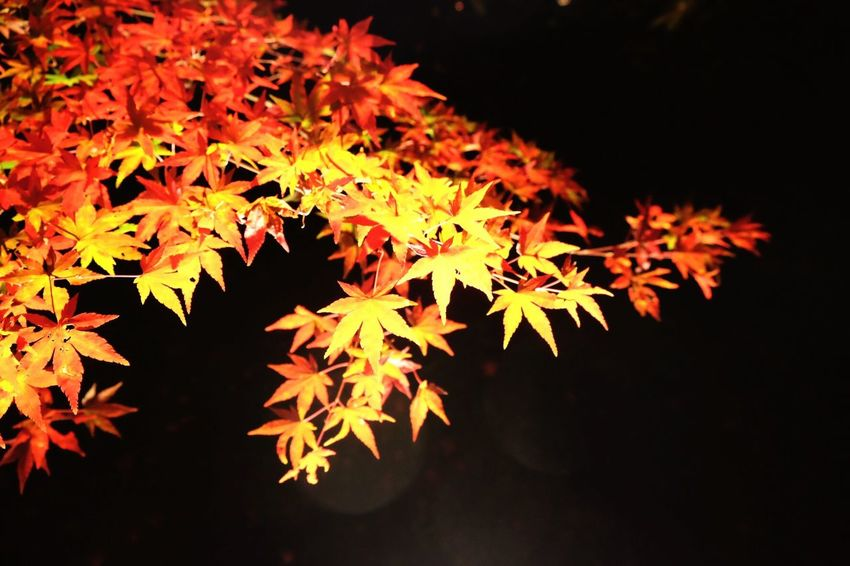 Fallcolor at night Fallcolors Fall Fall Leaves Fall Collection Autumn Colors Autumn Autumn Leaves Autumn Collection Simple Things In Life Simple Background Night Photography Night Lights Beautifully Organized Beautiful Nature Maple Leaf Maple Tree Japanese Maple