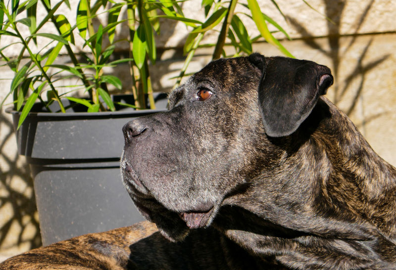Beautiful Dog Brown Eyes Home Looking Away Amazing Dog Animal Themes Brindle Dog Cane Corso Close-up Day Dog Dog Portrait Domestic Animals Italian Looking Mammal Mastiff Nature No People One Animal Outdoors Pets Portrait Pure Breed Weimaraner
