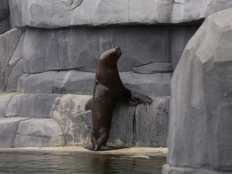 Zoo Animal Themes Animal Wildlife Animals In The Wild Aquatic Mammal Close-up Day Mammal Nature No People One Animal Outdoors Rock - Object Seal Water
