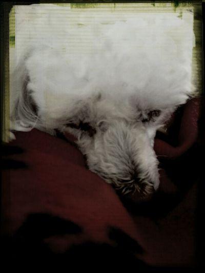 Sleepy Poodle
