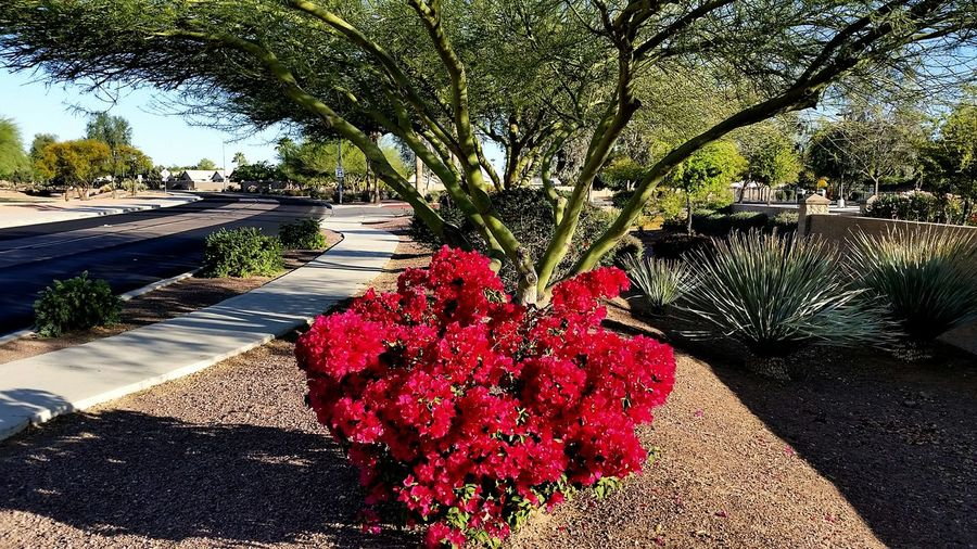 Brilliant flowering bouganvillia bush sheltered under a palo verde tree. Nature Enjoying The Sun Flowers Surprise, Arizona