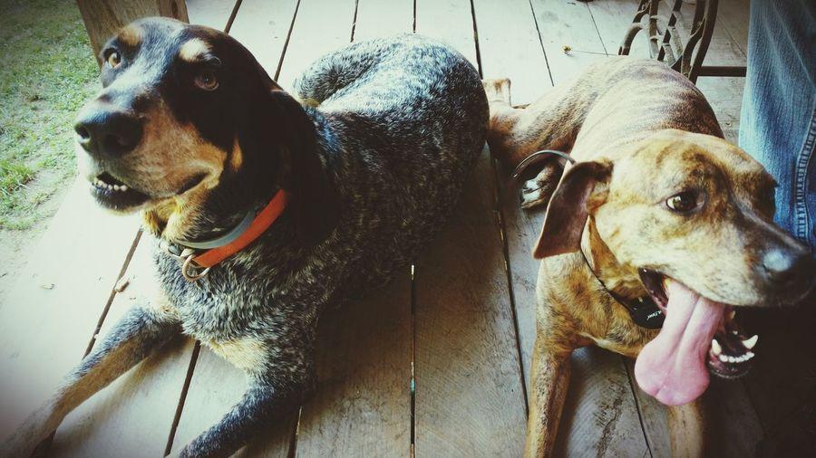 best friends Best Friends Blue Tick Vizla Boxer Dogs Pets Dog Togetherness Close-up