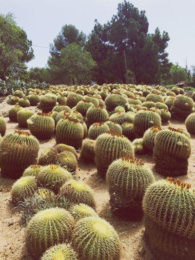 Pinya De Rosa Jardin Botánico Botanical Cactus Field