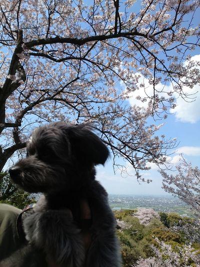 桜咲く Tree Pets