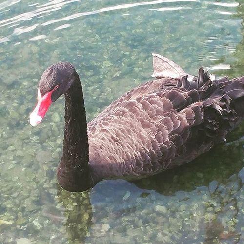 Black swan! LakeEola Loveflorida Swans