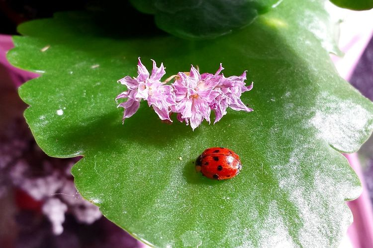 Spring Yay Spring Has Sprung Marienkäfer Flowers And Insects Ladybird Ladybirdladybirdflyawayhome Green Leaves Easter Is Coming Soon Learn & Shoot: Composition Ladyphotographerofthemonth Learn & Shoot: Balancing Elements Still Life Popular Photos Beliebte Fotos Flower Collection Ladybugs Ladybirds Ladybug Ladybug On Leaf Glücksbringer Lucky Charm Red And Green