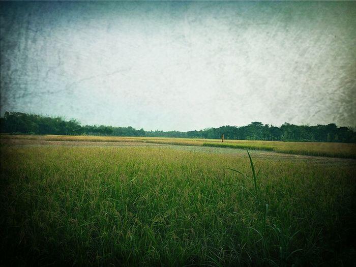 Sky Landscape Rice Field Paddy Field