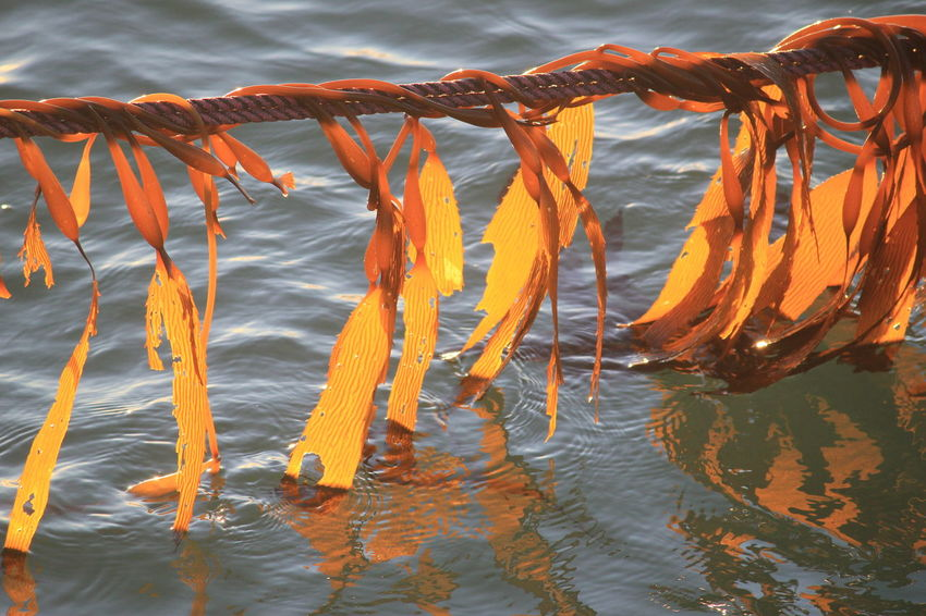 Seaweed Golden Southend South Australia