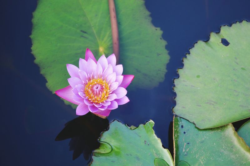 Water lily at