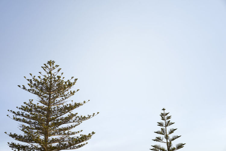 Conifer  Coniferous Tree Copyspace Design Photo Malta Malta Nature Malta<3 Maltaphotography Maltascapes Malta♥ Nature Nature Photography Nature_collection Naturelover Naturelovers Simple Photography Trees And Sky Design Nature Design Trees