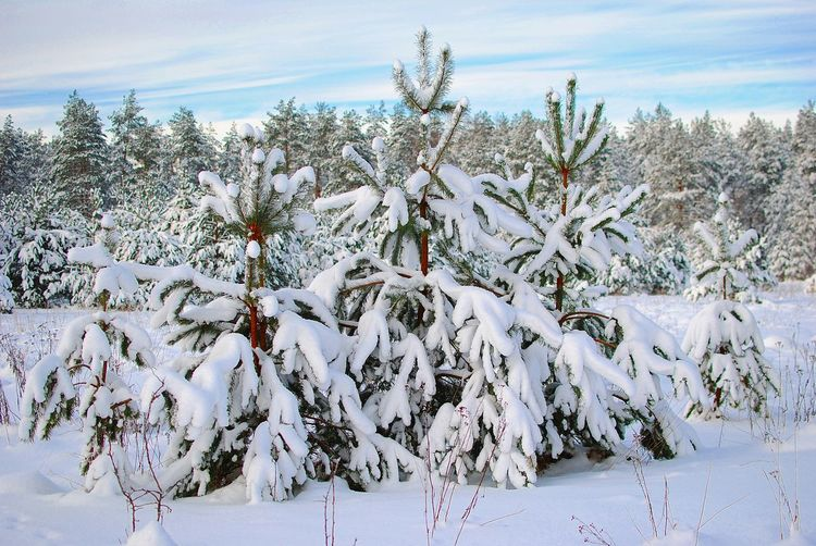 Christmas Beauty In Nature Christmas Poscard Christmas Tree Close-up Cold Temperature Day Field Forest Freshness Growth Landscape Nature No People Outdoors Plant Scenics Sky Snow Tranquil Scene Tranquility Tree Weather White Color Winter Shades Of Winter