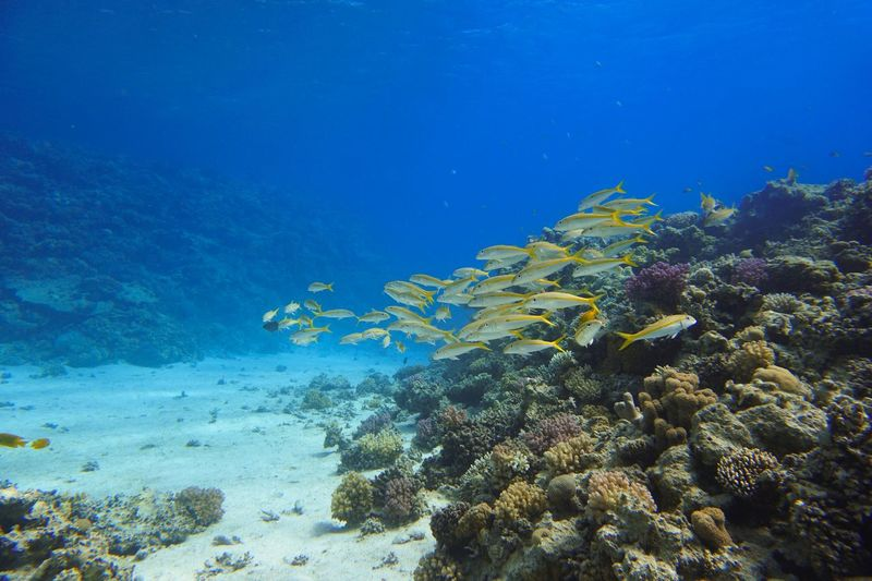 "Dive site ""abu hashish"" Makadi Bay Egypt Red Sea Egypt Padi Scuba Diving Diving underwater photography Underwater UnderSea Sea Life Sea Water Animal Wildlife Marine Coral Animals In The Wild Animal Animal Themes Invertebrate Fish Nature Vertebrate Reef No People Blue Ecosystem  Group Of Animals"