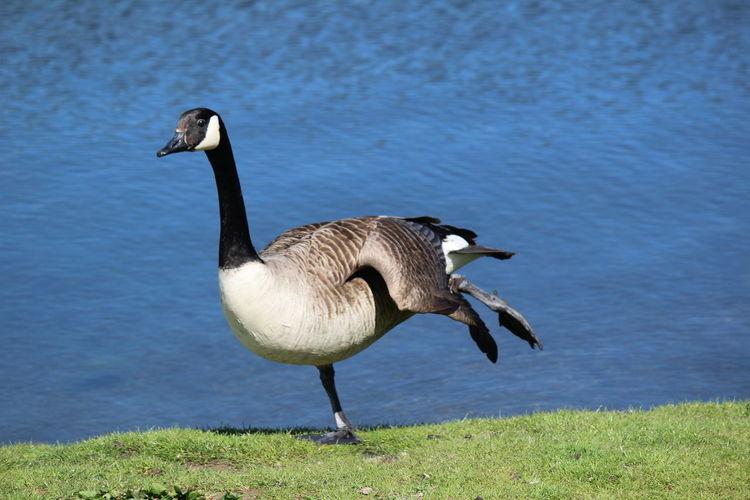 Close-up of goose at lakeshore