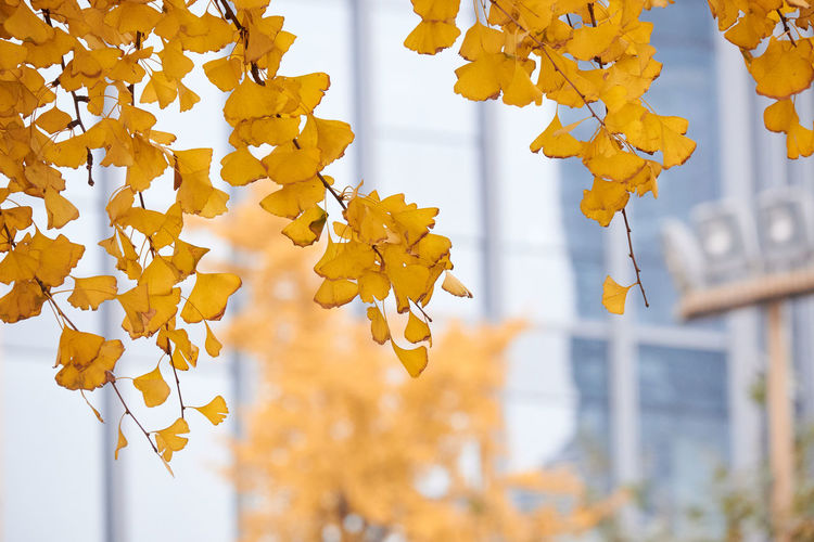 Low angle view of yellow leaves hanging on tree