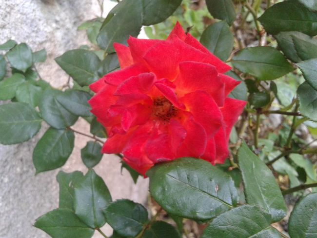Redrose  Rose🌹 Rosas <3 Beautiful ♥ Eye4photography  Best Flower Collection Red Rose 🌹 Sunset #sun #clouds #skylovers #sky #nature #beautifulinnature #naturalbeauty #photography #landscape Wonderful EyeEm Best Shots Nature_collection EyeEm Best Shots - Nature Red Flower