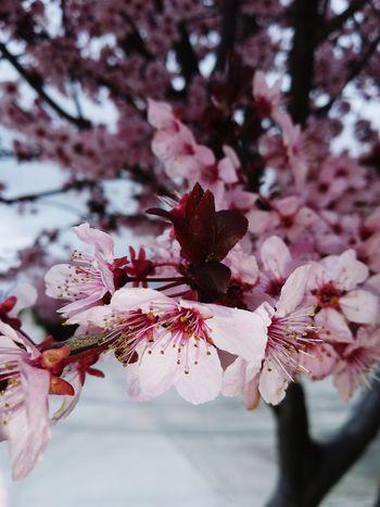 Nature Beauty In Nature Flower Head Tree Flower Branch Springtime Pink Color Blossom Petal Close-up Sky Plum Blossom Cherry Blossom