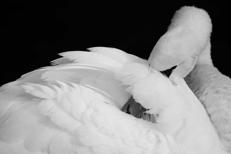 Animal Behavior Animal Themes Beauty In Nature Bird Blackandwhite Majestic Nature No People Swan White Color Animal Photography Art ArtWork