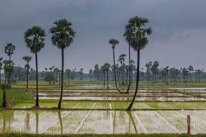 Storm crossing .. Tree Palm Tree Nature Outdoors Social Issues No People Landscape Cloud - Sky Water Agriculture Scenics Day Sky Beauty In Nature Travel Taking Photos Tadaa Community Storm Tamilnadu Monsoon Rainy Days On The Move Irrigation Landscape_Collection Travel Destinations