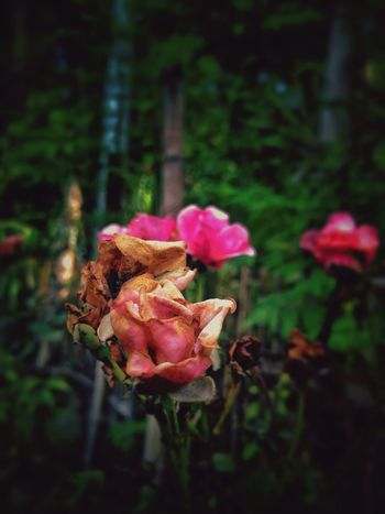 when beauty slowly fades away; but still beautiful though😊 Roses EyeEm Flowers Collection EyeEm Flower Pink Flower Dying Flowers Beautiful Nature Beautiful In My Eyes... Olloclipmacro Snapseed Mobile Photography Eyeem Philippines