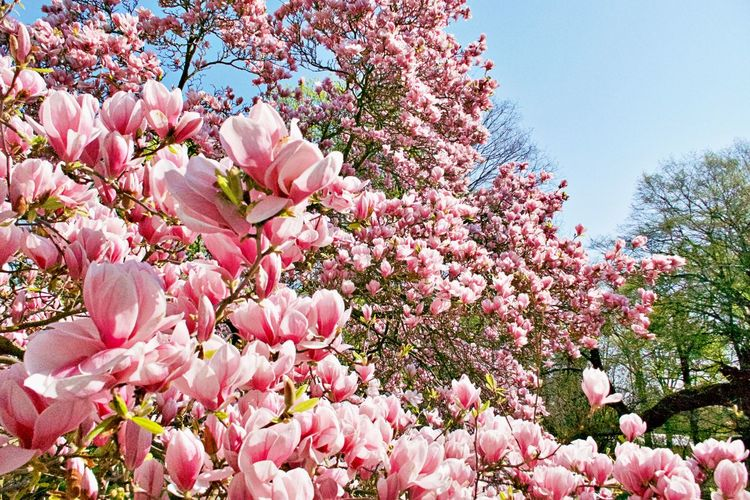 Flower Flowering Plant Pink Color Fragility Blossom Growth Vulnerability  Springtime Beauty In Nature Magnolia Tree Outdoors Spring No People Nature Tree Freshness Day Plant