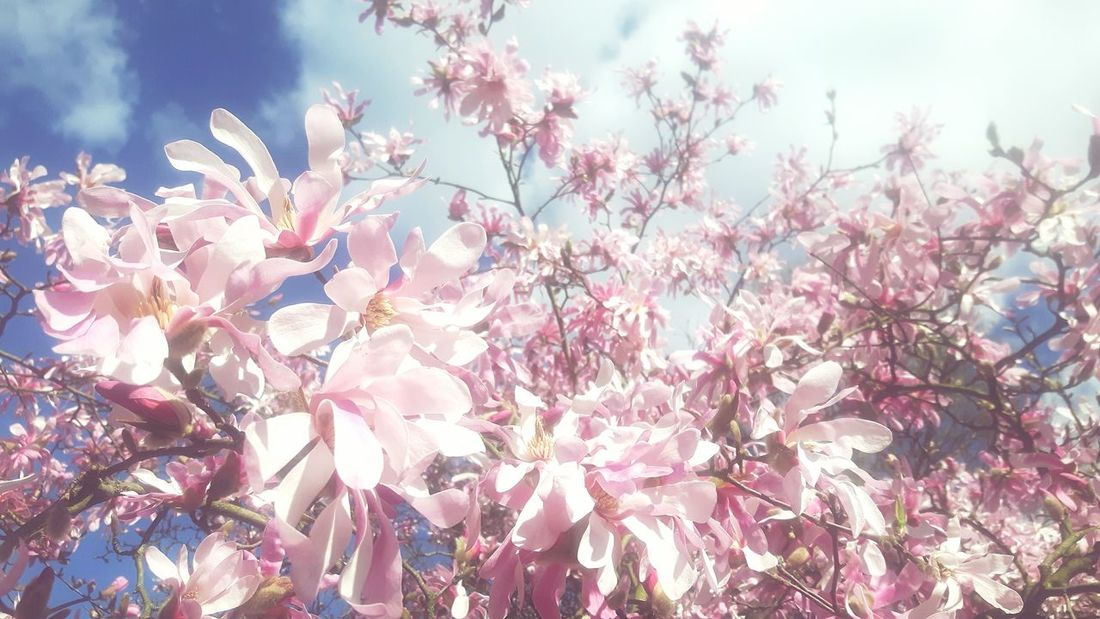 Nature Beauty In Nature No People Outdoors Growth Sky Flower Pink Color Close-up Sunset Day Fragility Freshness Magnolias Magnolienblüte Magnolienknospe Magnolia Flower Magnolias Blooming magnolia loebneri Magnolia Tree Magnolia Blossoms Magnolia Blossom Magnolia_Blossom Magnolia Maroon