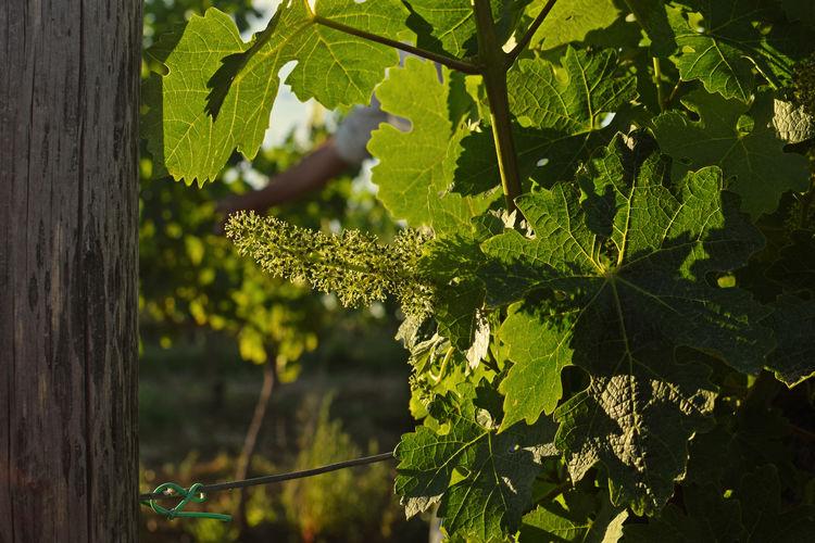 Vineyard in Tuscany! Merlot Tuscany Tuscany Countryside Beauty In Nature Grapes Nature Photography Grapes 🍇 Nature Outdoors Vineyard Wine Wine Of Tuscany