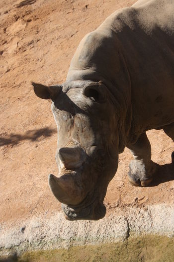 Animal Animal Themes Bioparco Canon Canoneos1000d Canonphotography Day No People One Animal Outdoors Rhino Rinoceronte Valencia, Spain Zoology