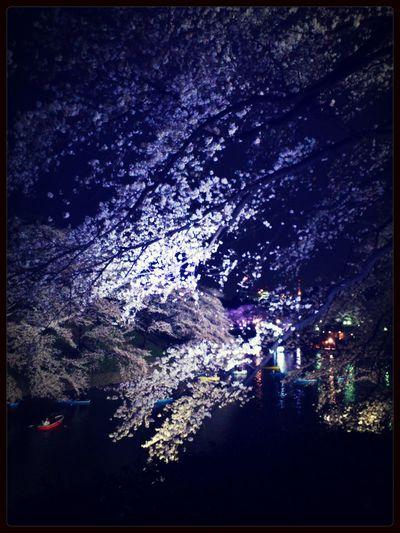 Photo Sakura Hanami 千鳥ヶ淵