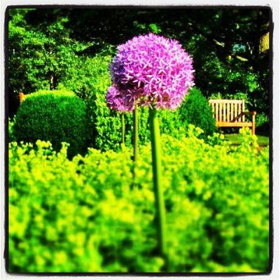 Ok, der Sommer kann zurück kommen Sommer Summer Flower Green Sklfirma Garden Garten Allium