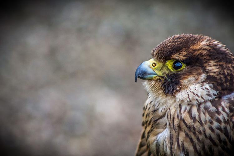 Animal Themes Bird Bird Of Prey Close-up EyeEmNewHere Falke Hawkeye No People One Animal Outdoors Perspective