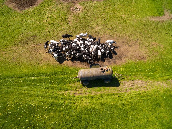 Aerial view of a group of north german dairy cows on a green fresh grass field in the summer in germany. The cows are standing close together at a watering hole Cows In Grassland Cows Grazing Grass Plant Green Color Day Nature Field Transportation Land Mode Of Transportation No People Land Vehicle Outdoors Sunlight Motion Growth Environment Lawn on the move Military Cow Farm