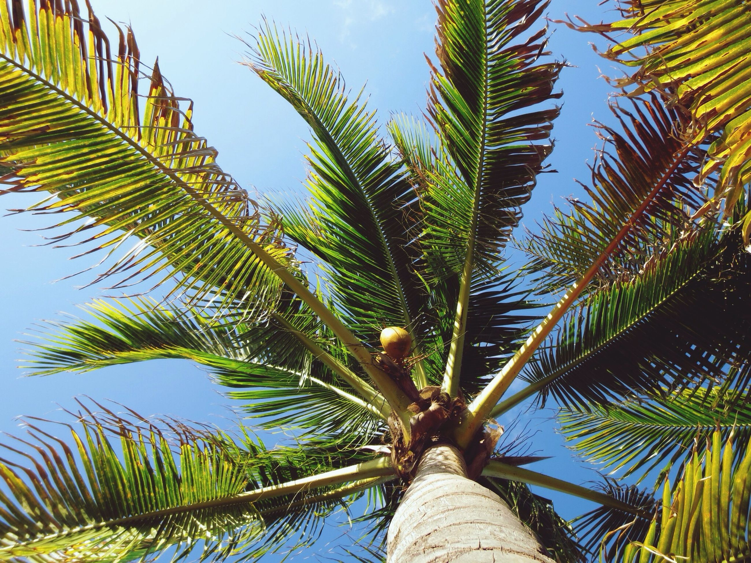 palm tree, low angle view, tree, growth, palm leaf, leaf, green color, branch, nature, coconut palm tree, sky, tropical tree, clear sky, tree trunk, tranquility, day, tropical climate, beauty in nature, sunlight, outdoors