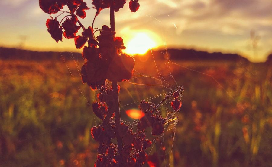 Complexity (2017) || Nature Growth Focus On Foreground Sunset Field No People Plant Outdoors Close-up Beauty In Nature Sky Day Grass EyeEm Nature Lover Nature Beauty In Nature Autumn Photography Wanderlust Spider Web Flower Atmospheric Mood EyeEm Best Shots EyeEm Selects Plant