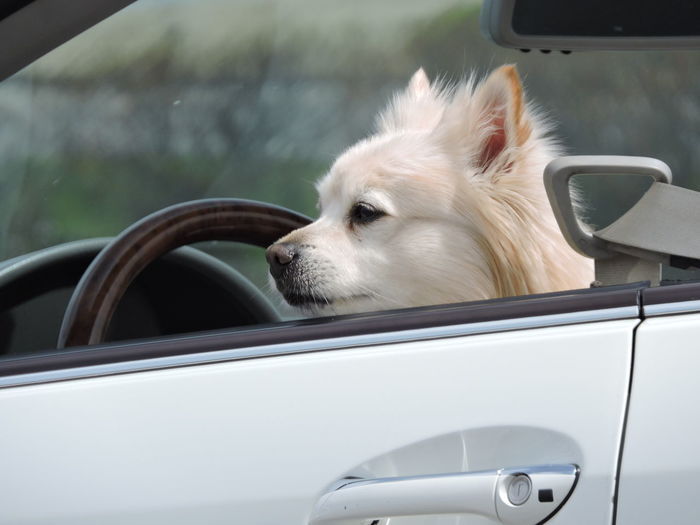 Waiting Patiently Mode Of Transportation Transportation Car Land Vehicle Motor Vehicle One Animal Animal Themes Mammal Domestic Animals Vehicle Interior Dog Animal Canine Domestic Pets Travel Looking Car Interior Focus On Foreground Glass - Material No People Outdoors Animal Head  Road Trip