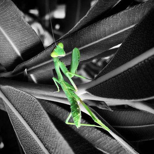 Preying Mantis Mantis Insects  Tiny Insects Green