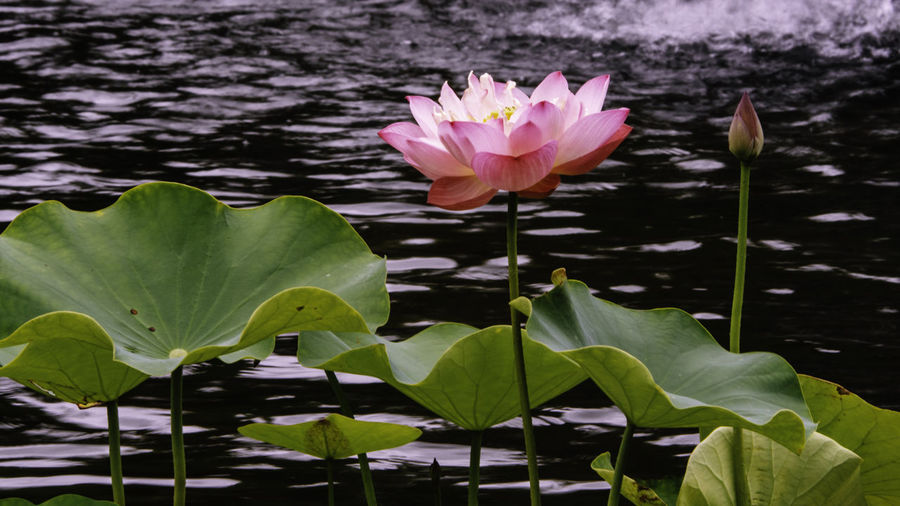 Pink lotus flowers bloom in the Central Park, New York City Flower Flowering Plant Beauty In Nature Lake Water Plant Fragility Leaf Plant Part Growth Nature Freshness Petal Close-up Inflorescence Floating On Water Flower Head Pink Color No People Leaves Outdoors Central Park New York Park Garden